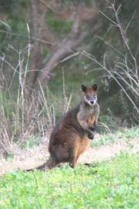 Brush- tailed Rock Wallaby
