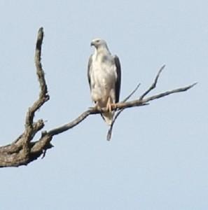 sea eagle visit