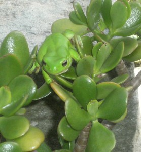 green tree frog in garden