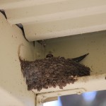 nest up above our front door - mum swallow sitting on her eggs
