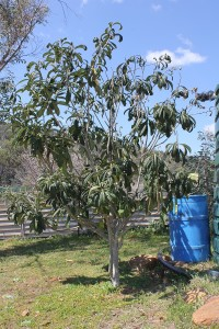 Paul's avocado tree