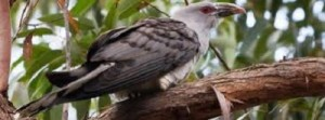 channel-billed cuckoo perched photo by Birds Australia
