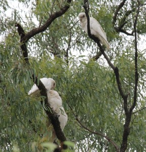short-billed corellas visit