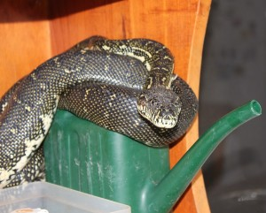 Python visits veranda and has a rest on the watering can on a shelf at the back door!