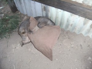 wombat antics - pillow torture