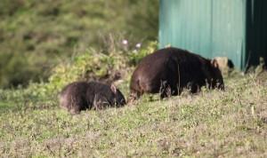 mum & baby grazing