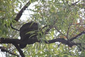 choughs nest - round mud nest