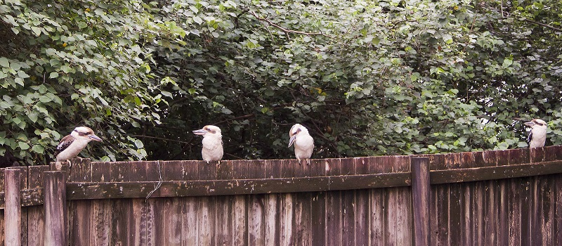 Tim's visiting Kookaburra family.