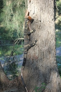 Goanna with flying fox