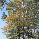 Silky Oak in flower