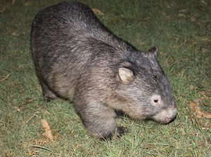Fidel today  -the splendid wombat!