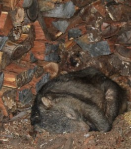 wombat in the woodpile