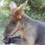 "Jenny's swamp wallaby ""Tuffy Finnie"""