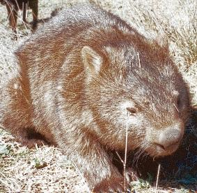 common wombat - healthy adult wombat who lives at our place