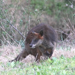 Brush-tailed Rock Wallaby