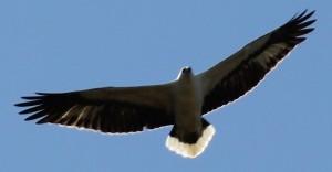visiting sea eagle