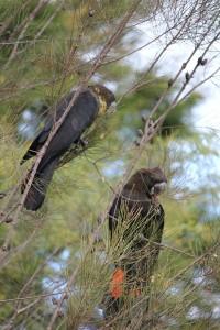 Casuarina Cockatoos The female has the yellow throat.