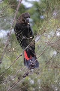 male casuirina cockatoo