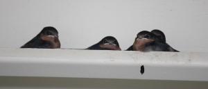 swallows first flight