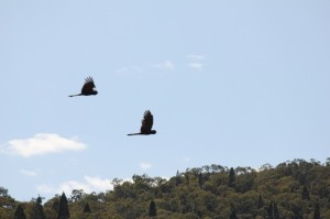 yellow tailed cockatoos