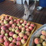 Billy inspecting the peaches off the peach tree