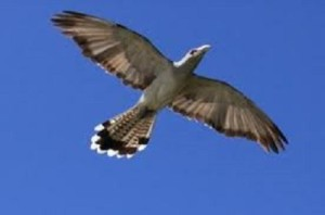channel-billed cuckoo in flight