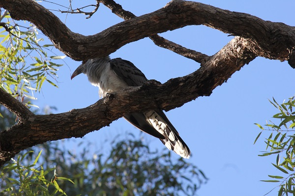 Channel-billed cuckoo taken by me in the front yard