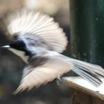 flycatcher in flight