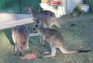 Billy at back Bronte front left and Bobo front right Bobo still drinks milk from his mum!