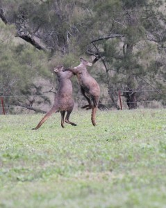 2 large male wallaroos having an afternoon spa