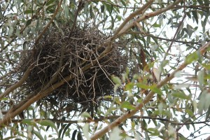 babblers nest  - large nest made of twigs