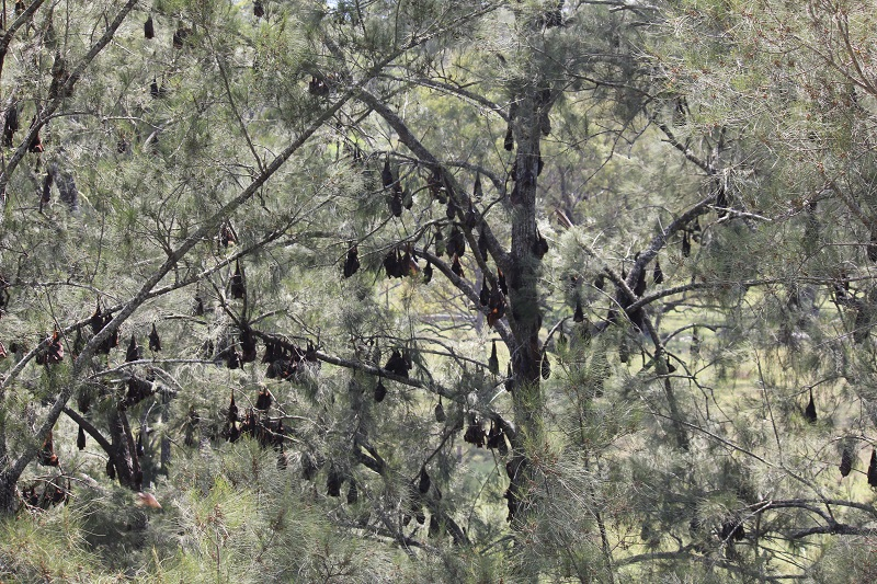 Watching the Flying Foxes. The camp is about 250 metres on the river bank before our place and stretches along through the trees about 250 metres in length.