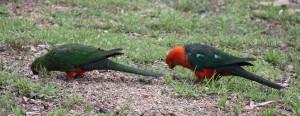 Mr & Mrs King Parrot