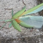 mystery insect - can anyone identify this? about 10cm long
