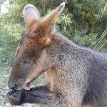 "Jenny's swamp wallaby ""Tuffy Finnie"""