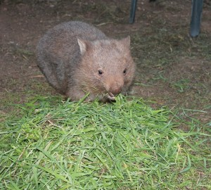 Wynona recovered from mange attack and tooth fixed , happily munching grass, yum. yum