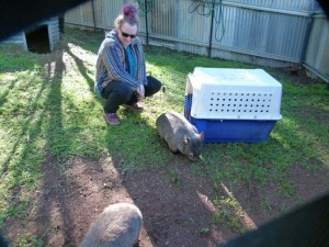 Penny brings Wendy and Wynona to Wombat Creek .Introducing them to their new enclosure till release.